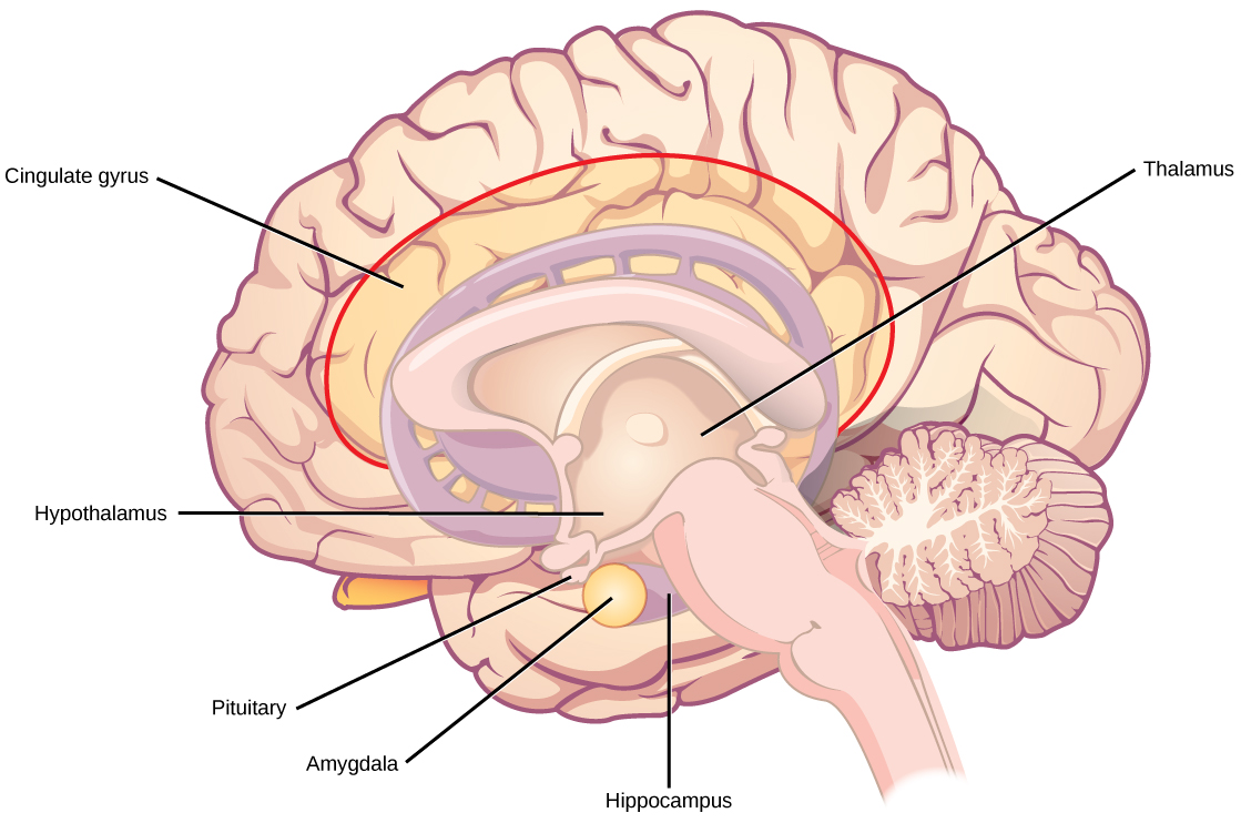 Illustration shows parts of the limbic system. The thalamus and hypothalamus are located in the cavity in the center of the cerebral cortex. The cingulate gyrus is part of the cerebral cortex that wraps around the upper part of the basal ganglia. The hippocampus is part of the cerebral cortex located beneath the thalamus. The amygdala is located at the end of the basal ganglia, and sits beside the pituitary.
