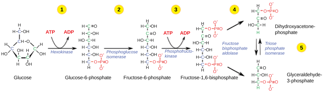 This illustration shows the steps in the first half of glycolysis. In step one, the enzyme hexokinase uses one A T P molecule in the phosphorylation of glucose. In step two, glucose dash 6 dash phosphate is rearranged to form fructose dash 6  dash phosphate by phosphoglucose isomerase. In step three, phosphofructokinase uses a second A T P molecule in the phosphorylation of the substrate, forming fructose dash 1, 6 dash bisphosphate. The enzyme fructose bisphosphate aldose splits the substrate into two, forming glyceraldeyde dash 3 dash phosphate and dihydroxyacetone-phosphate. In step 4, triose phosphate isomerase converts the dihydroxyacetone-phosphate into glyceraldehyde dash 3 dash phosphate.