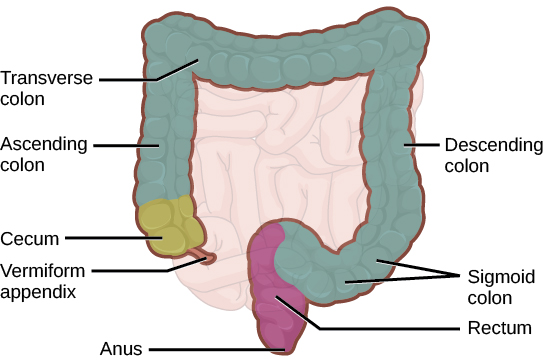 Illustration shows the structure of the large intestine, which begins with the ascending colon. Below the ascending colon is the cecum. The vermiform appendix is a small projection at the bottom of the cecum. The ascending colon travels up the right side of the body, then turns into the transverse colon. On the left side of the body the large intestine turns again, into the descending colon. At the bottom, the descending colon curves up; this part of the intestine is called the sigmoid colon. The sigmoid colon empties into the rectum. The rectum travels straight down, to the anus.