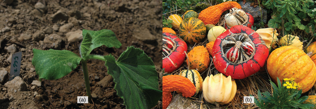 Left photo shows a dark green seedling with three leaves. The seedling is growing on a plot of dark-brown soil. Right photo shows a variety of red, orange, green and yellow squashes.