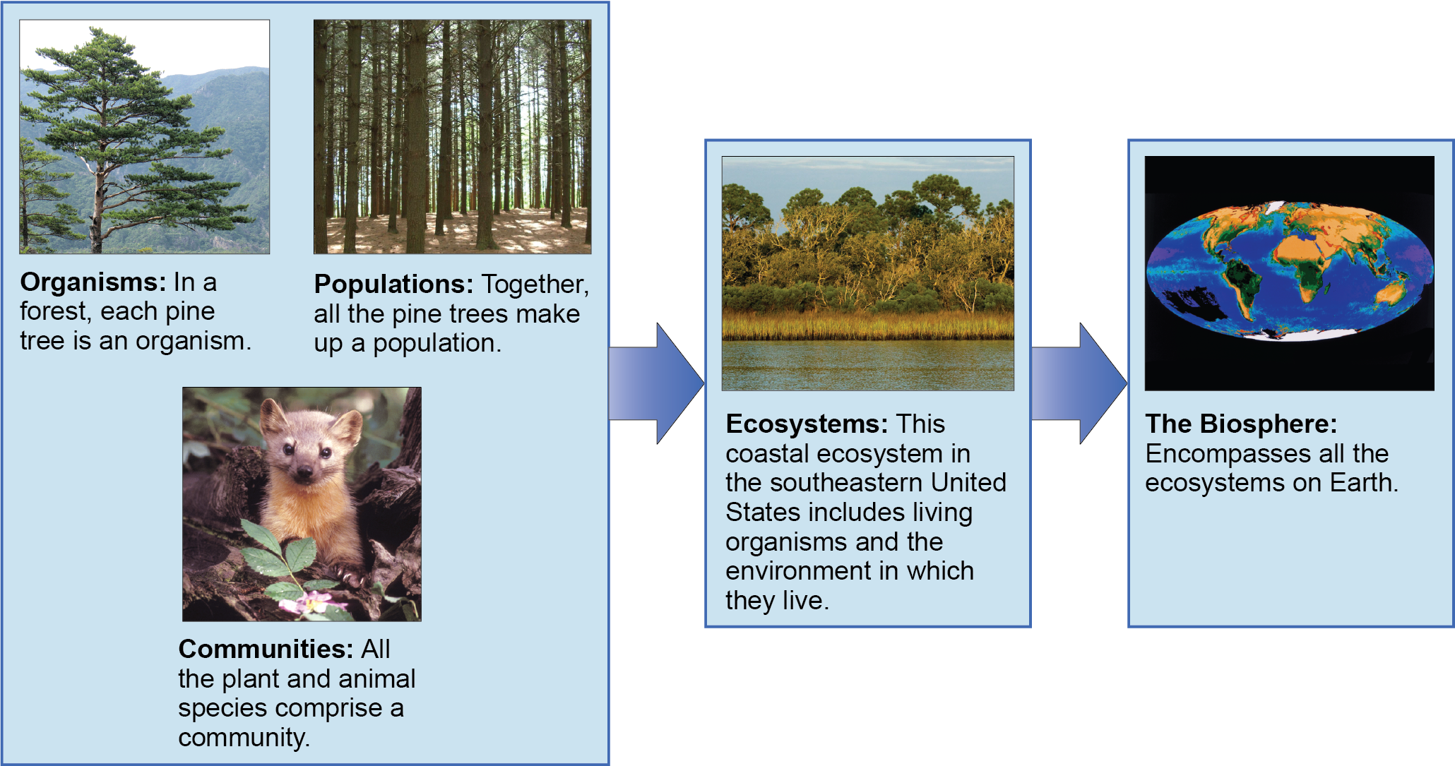 A flow chart of three boxes shows the hierarchy of living organisms. The top box is labeled Organisms, and a picture of a tree is shown; then populations, and a picture of a forest is shown; and then communities, and a picture of a marmot is shown. The second box is labeled ecosystems; and has a photograph of a body of water, behind which is a stand of tall grasses developing into more dense vegetation and trees as distance from the water increases. The third box is labeled as the biosphere; and shows a drawing of planet Earth.