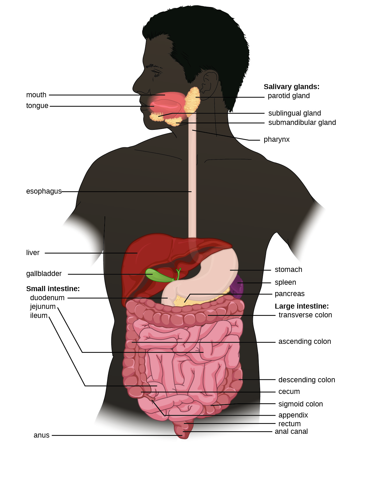 Diagram of the digestive system. The system begins with the mouth and tongue. There are salivary glands in this region: the sublingual gland is under the tongue, the submandibular gland is below the jaw and the parotid gland is in the very back of the mouth. The mouth leads to the pharynx (a tube) that leads to the esophagus, that leads to the stomach, that leads to the small intestines. The small intestine is divided into 3 regions: first is the duodenum, next is the jejunim and finally the ileum. This leads to the large intestines which is divided into  regions: first the cecum, then the ascending colon, then the transverse colon, then the descending colon, then the sigmoid colon, and finally the rectum, anal canal and anus.  The appendix is a small projection off the cecum. Also part of the digestive system is the large liver (above and to the right of the stomach), the gallbladder (a small sac under the liver), the pancrease (a structure below and behind the stomach) and the spleen (a structure below and to the left of the stomach).
