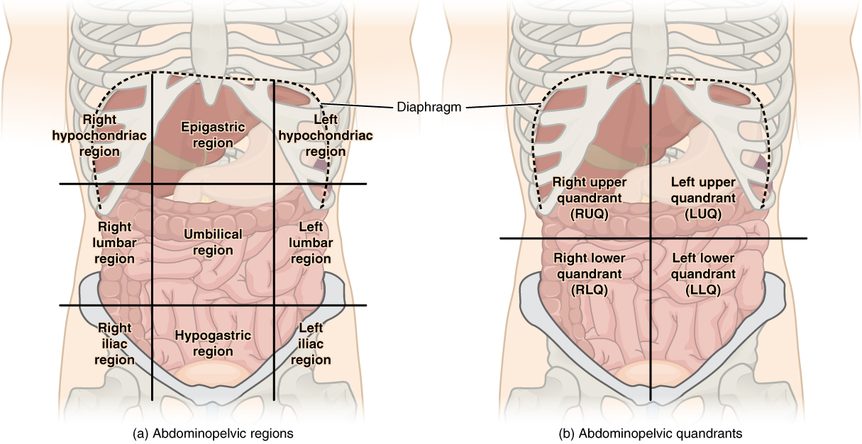 This illustration has two parts. Part A shows the abdominopelvic regions. These regions divide the abdomen into nine squares. The upper right square is the right hypochondriac region and contains the base of the right ribs. The upper left square is the left hypochondriac region and contains the base of the left ribs. The epigastric region is the upper central square and contains the bottom edge of the liver as well as the upper areas of the stomach. The diaphragm curves like an upside down U over these three regions. The central right region is called the right lumbar region and contains the ascending colon and the right edge of the small intestines. The central square contains the transverse colon and the upper regions of the small intestines. The left lumbar region contains the left edge of the transverse colon and the left edge of the small intestine. The lower right square is the right iliac region and contains the right pelvic bones and the ascending colon. The lower left square is the left iliac region and contains the left pelvic bone and the lower left regions of the small intestine. The lower central square contains the bottom of the pubic bones, upper regions of the bladder and the lower region of the small intestine. Part B shows four abdominopelvic quadrants. The right upper quadrant (RUQ) includes the lower right ribs, right side of the liver, and right side of the transverse colon. The left upper quadrant (LUQ) includes the lower left ribs, stomach, and upper left area of the transverse colon. The right lower quadrant (RLQ) includes the right half of the small intestines, ascending colon, right pelvic bone and upper right area of the bladder. The left lower quadrant (LLQ) contains the left half of the small intestine and left pelvic bone.