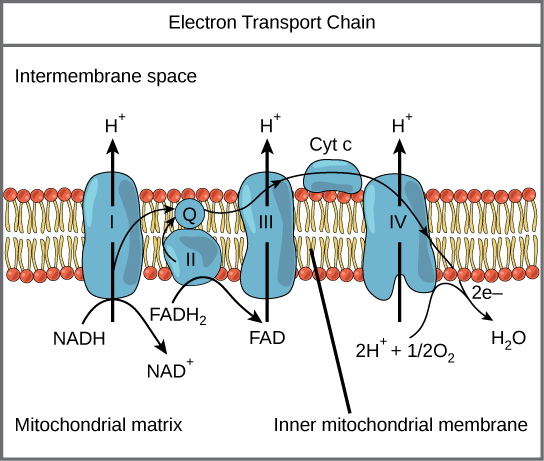 This illustration shows the electron transport chain embedded in the inner mitochondrial membrane. The electron transport chain consists of four electron complexes. Complex I oxidizes N A D H to N A D superscript plus sign baseline; and simultaneously pumps a proton across the membrane to the inter membrane space. The two electrons released from N A D H are shuttled to coenzyme Q, then to complex I I I, to cytochrome c, to complex I V, then to molecular oxygen. In the process, two more protons are pumped across the membrane to the intermembrane space, and molecular oxygen is reduced to form water. Complex I I removes two electrons from F A D H subscript 2 baseline, thereby forming F A D. The electrons are shuttled to coenzyme Q, then to complex I I I, cytochrome c, complex I, and molecular oxygen as in the case of N A D H oxidation.