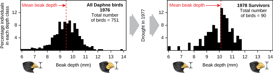 Two graphs show the number of birds on the y axis and bill depth in millimeter on the x axis. The graph on the left has data for the year 1976 with a total of 751 birds measured. The mean beak depth is about 9.5 millimeters. The graph on the right has data for the year 1978, after a drought caused the death of many birds. The total number of surviving birds measured for this data was 90, and the mean beak depth is about 10 millimeters.