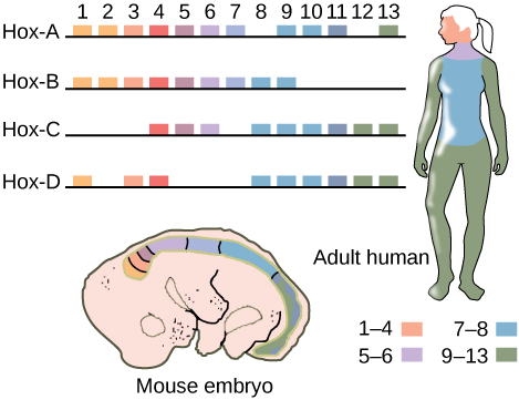 This illustration shows the four clusters of Hox genes found in vertebrates: Hox A, Hox B, Hox C, and Hox D. There are 13 Hox genes, but not all of them are found in each cluster. In both mice and humans, genes 1 through 4 regulate the development of the head. Genes 5 and 6 regulate the development of the neck. Genes 7 and 8 regulate the development of the torso, and genes 9 through 13 regulate the development of the arms and legs.