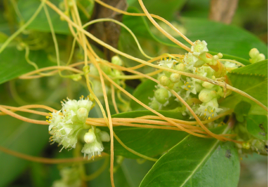 Photo shows a beige vine with small white flowers. The vine is wrapped around a woody stem of a plant with green leaves.