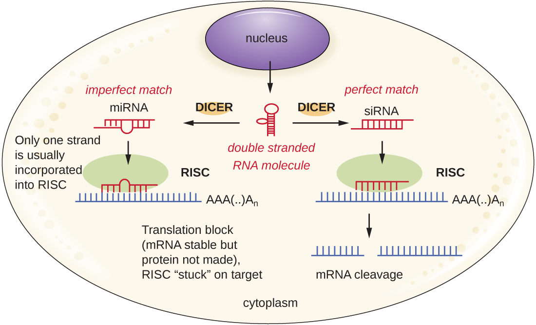 Double stranded RNA can be produced from DNA in the nucleus. Dicer than cuts this dsRNA into either miRNA or siRNA. miRNA is an imperfect match and only one strand is usually incorporated into RISC. This blocks translation but the mRNA is stable. The RISC is stuck on the target. The siRNA has a perfect match and is incorporated into RISC. This triggers mRNA cleavage.