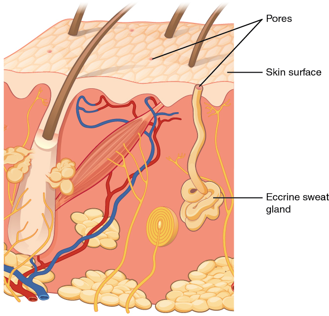 This diagram shows an eccrine sweat gland embedded in a cross section of skin tissue. The eccrine sweat gland is a bundle of white tubes embedded in the dermis. A single white tube travels up from the bundle and opens on to the surface of the epidermis. The opening is called a pore. There are several pores on the small block of skin portrayed in this diagram.
