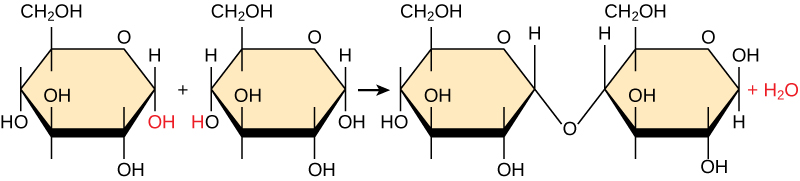 Shown is the reaction of two glucose monomers to form maltose. When maltose is formed, a water molecules is released. The components of the linkage are upper case O upper case H from one glucose molecule combining with one upper case H from the second glucose molecule.