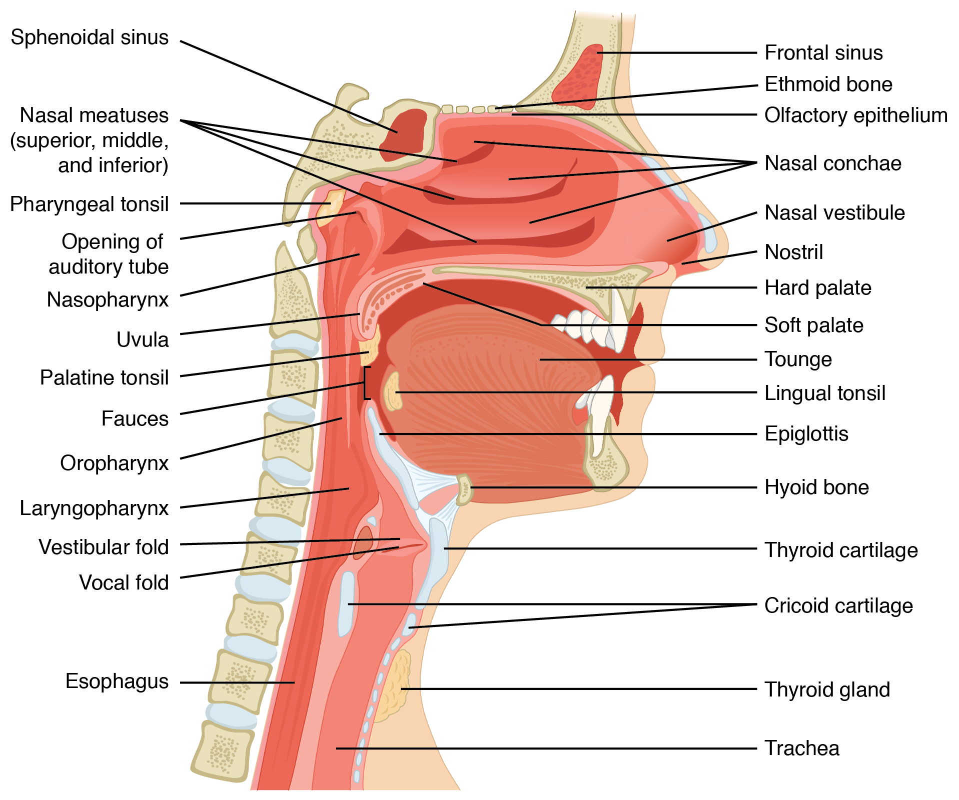 This figure shows a cross section view of the nose and throat. The major parts are labeled.