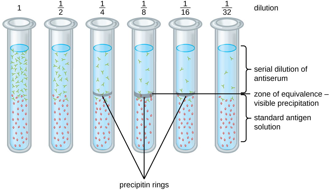 A diagram with multiple test tube dilutions labeled: 1, ½, ¼, 1/8, 1/16, 1/32. The bottom of each test tube contains a standard antigen solution. The top contains serial dilutions of antiserum. Tubes 1, ½, and 1/32 have no band at the interface between these two zones. Tubes ¼, and 1/6 have a thin band. Tube 1/8 has a thick band labeled zone of equivalence – visible precipitation.