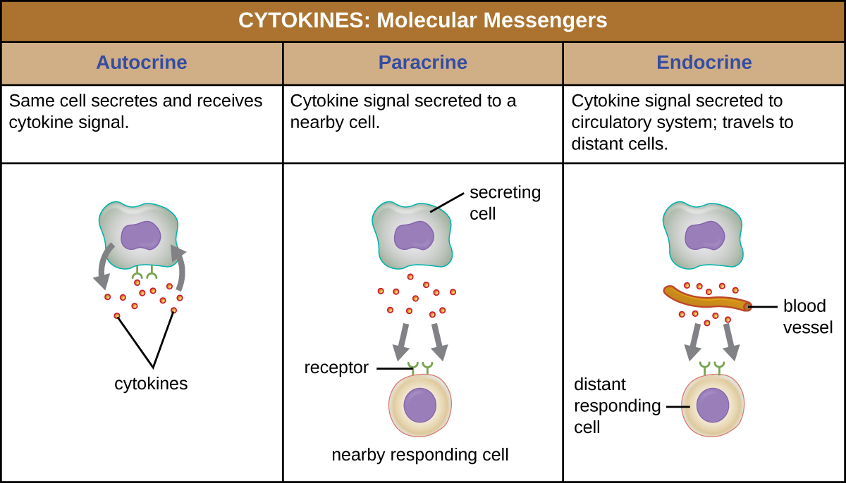 Cytokines are molecular messengers. In autocrine signaling the same cell secretes and receives cytokine signals. The diagram shows a single cell releasing molecules and having the molecules bind to receptors on its surface. In paracrine signaling cytokine signals are secreted to a nearby cell. The diagram shows a cell labeled secreting cell secreting cytokines. A nearby cell has receptors for the molecules. In endocrine signaling cytokine signals are secreted to the circulatory system and travel to distant cells. The diagram shows the secreting cell secreting cytokines; the cytokines then travel through a blood vessel and bind to receptors on a distant cell.
