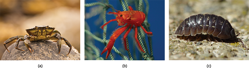 Photo a shows a crab on land, and photo b shows a bright red shrimp in the water. Image c is of a pill bug walking on sand.