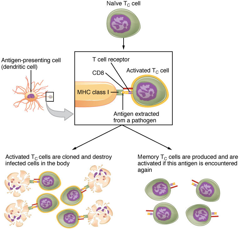 Clonal Selection and Expansion of T Lymphocytes
