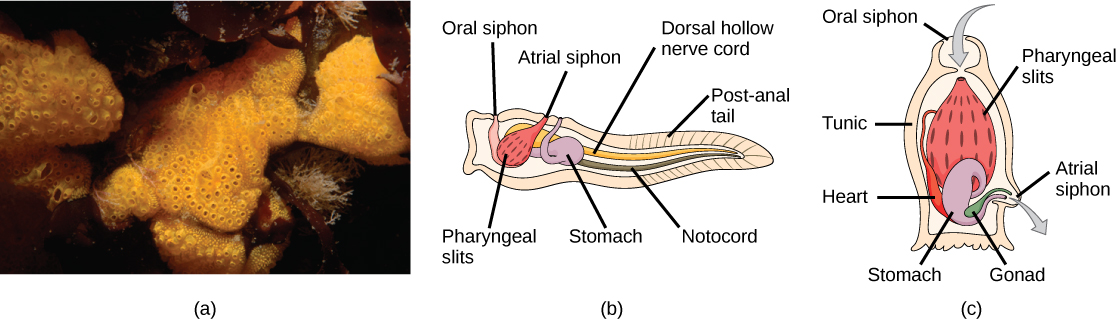 Photo A shows tunicates, which are sponge-like in appearance and have holes along the surface. Illustration B shows the tunicate larval stage, which resembles a tadpole, with a post anal tail at the narrow end. A dorsal hollow nerve cord run along the upper back, and a notochord runs beneath the nerve cord. The digestive tract starts with an oral siphon at the front of the animal connected to a stomach. Above the stomach is the atrial siphon. The pharyngeal slits, which are located in between the stomach and mouth, are connected to an atrial opening at the top of the body. Illustration C shows an adult tunicate, which resembles a tree stump anchored at the bottom. Water enters through an oral siphon at the top of the body and passes through the pharyngeal slits, where it is filtered. Water then exits through another opening at the side of the body. A heart, stomach and gonad are tucked beneath the pharyngeal slit. The outer surface is called a tunic.