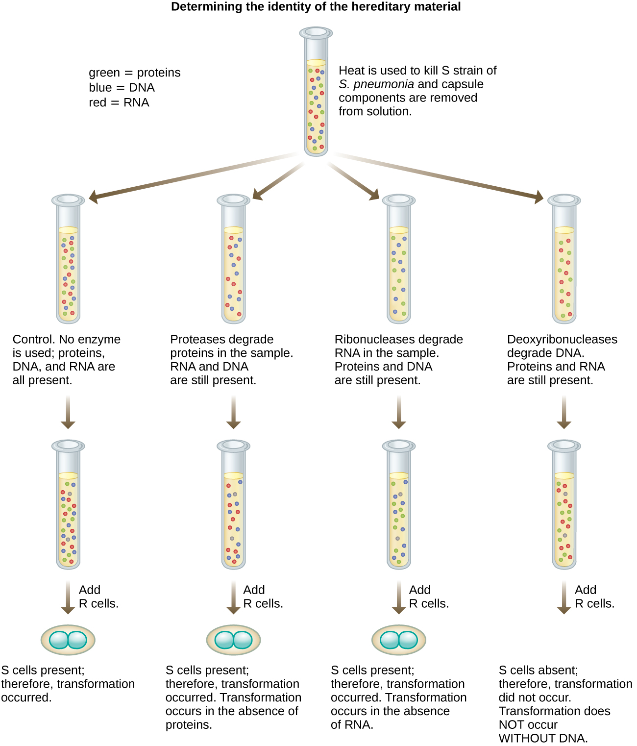A diagram of Avery, MaLeod and McCarty's experiment: Determining the identity of the hereditary material. Heat is used to kill S strain of S. pneumonia and capsule components are removed from solution. This produes a solution with DNA, RNA and proteins. This solution is then placed into 4 tubes. In the control, no enzymes are used so DNA, RNA, and proteins are all present. R cells are then added and S cells are found because transformation occurred. In the next experiment proteases degrade proteins in the sample, leaving DNA and RNA. R cells are added and S cells are found. Therefore, transformation occurred in the absence of proteins. In the next experiment ribonucleases degrade RNA in the sample, leaving DNA and proteins. R cells are added and S cells are found. Therefore, transformation occurred in the absence of RNA. In the final experiment deoxyribonucleases degrade DNA in the sample, leaving proteins and RNA. R cells are added and S cells are not found. Therefore, transformation does not occur without DNA. DNA is necessary for transformation.
