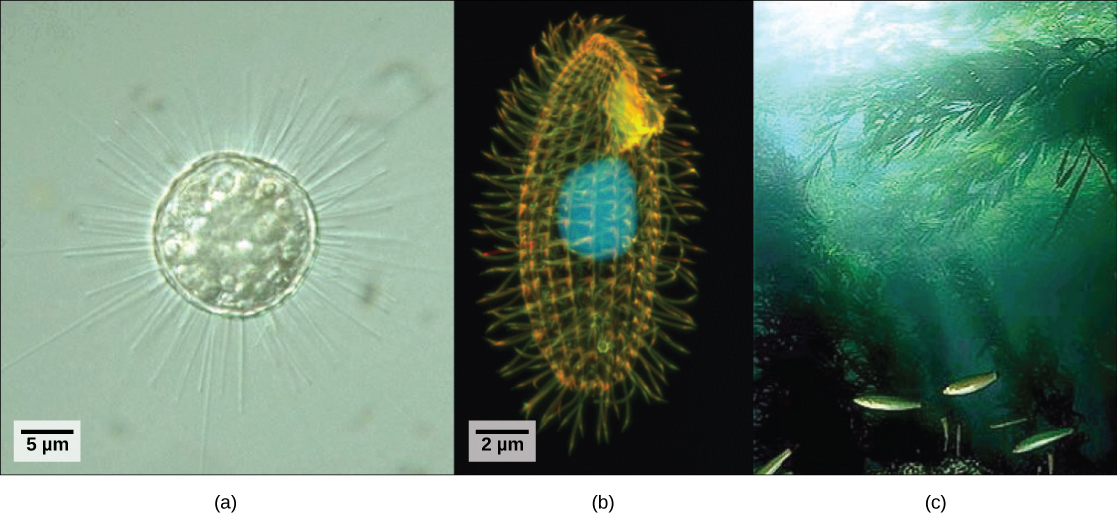 Part a is a light micrograph of a round, transparent single-celled organism with long thin spines. Part b is a light micrograph of an oval, transparent organism with ridges running along its length. The nucleus is visible as a large, round sphere. Cilia extend from the surface of the organism. Part c is an underwater photo of a kelp forest growing from the seabed.