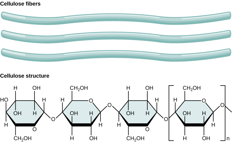 Three cellulose fibers and the chemical structure of cellulose is shown. Cellulose consists of unbranched chains of glucose subunits that form long, straight fibers.