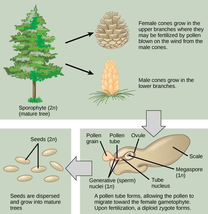 The conifer life cycle begins with a mature tree, which is called a sporophyte and is diploid (2n). The tree produces male cones in the lower branches, and female cones in the upper branches. The male cones produce pollen grains that contain two generative (sperm) nuclei and a tube nucleus. When the pollen lands on a female scale, a pollen tube grows toward the female gametophyte, which consists of an ovule containing the megaspore. Upon fertilization, a diploid zygote forms. The resulting seeds are dispersed, and grow into a mature tree, ending the cycle.