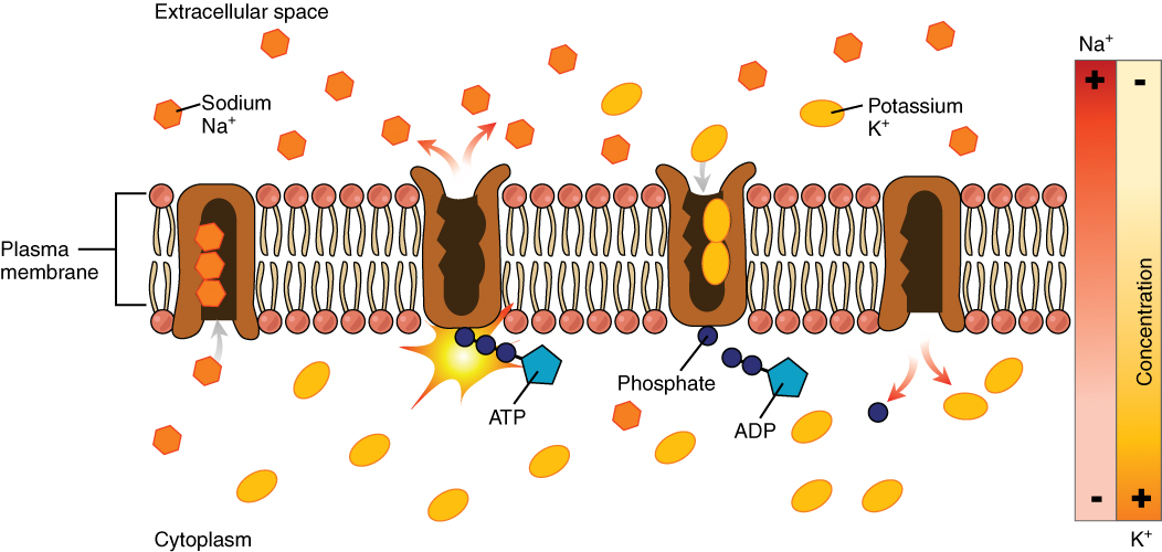 This diagram shows many sodium potassium pumps embedded in the membrane. Potassium is pumped into the cytoplasm and sodium is pumped out of the cytoplasm.