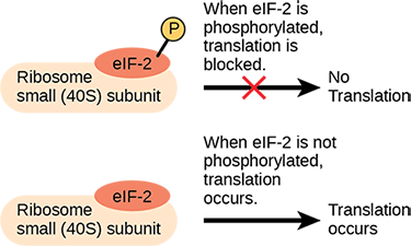 The lower case e lower case I upper case F dash 2 protein is a translation factor that binds to the small 40 S ribosome subunit. When e I F dash 2 is phosphorylated, translation is blocked.