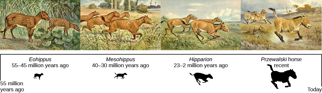 A series of paintings on a timeline from 55 million years ago to today showing 4 of the ancestors to the modern horse. The first in the series is Eohippus, which lived from 55 to 45 million years ago. It was a small, dog-sized, animal with 4 toes on the front feet and 3 on the back, a long tail, and a brown spotted coat. The second is Mesohippus, which lived from 40 to 30 million years ago. It was slightly larger than Eohippus with longer legs. It had 3 toes on the front and back feet. The third is Hipparion, which lived from 23 to 2 million years ago. It walked on its middle toe on each foot (now a hoof), but it still had vestiges of the remaining toes. It was much larger than Hipparion. The fourth is Przewalski's horse, a recent but endangered horse. It is smaller and stockier than the domesticated horse with one toe (hoof) on each foot.