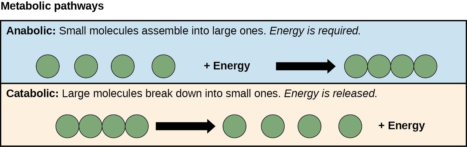 Anabolic and catabolic pathways are shown. In the anabolic pathway (top), four small molecules have energy added to them to make one large molecule. In the catabolic pathway (bottom), one large molecule is broken down into two components: four small molecules plus energy.