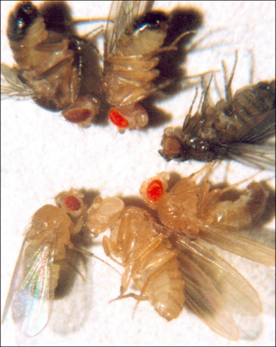 Photo shows six fruit flies, each with a different eye color.