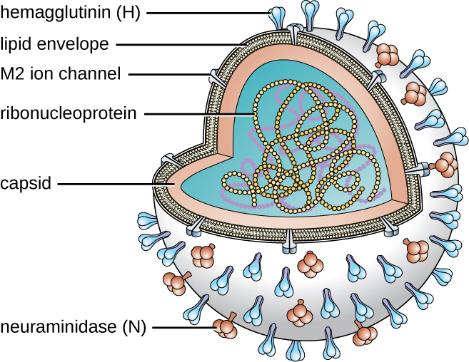 A sphere with strand of circles in the inside – this strand is labeled ribonucleoprotein. The outside of the sphere is made of 2 layers. The inner layer is the capsid. The outer layer is the lipid envelope. The lipid envelope has an M2 ion channel and two different surface components labeled hemagglutinin (H) and neuraminidase (N).