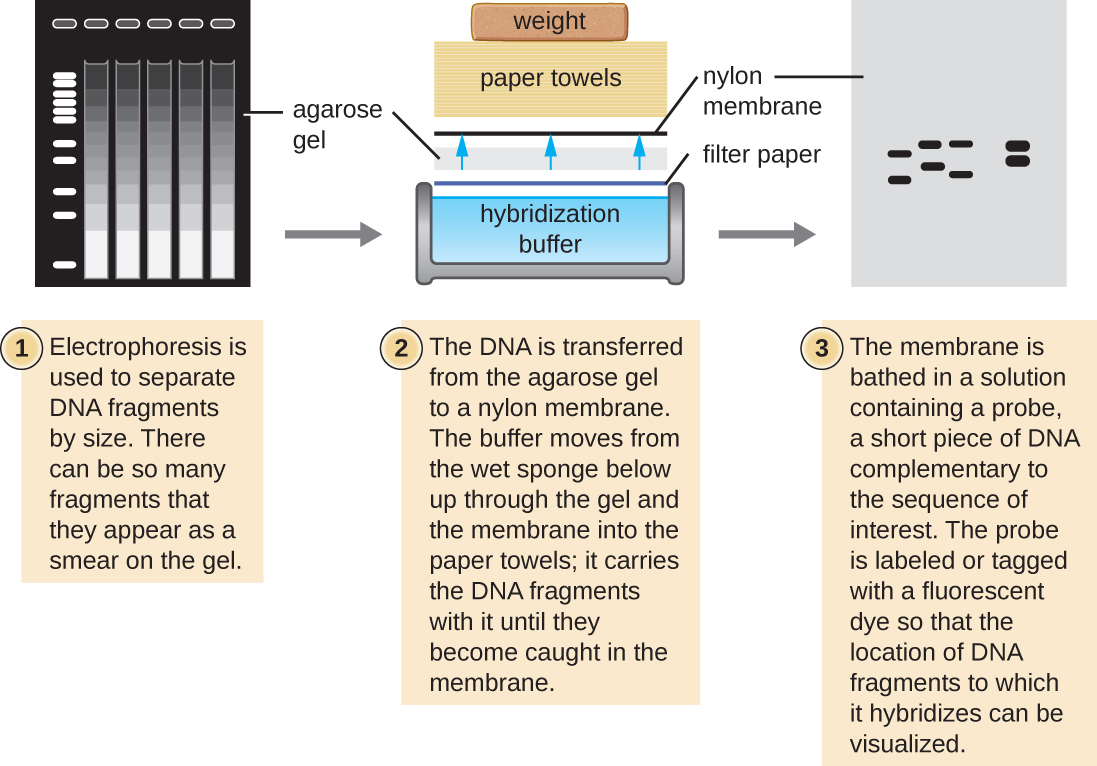 A diagram of a Southern blot. First, electrophoresis is used to separate DNA fragments by size. There can be so many fragments that they appear as a smear on the gel. Next DNA is transferred from the agarose gel to a nylon membrane. The buffer moves from the wet sponge below up through the gel and the membrane into the paper towels. It carries the DNA fragments with it until they become caught in the membrane. Finally, the membrane is based in a solution containing a probe, a short piece of DNA complementary to the sequence of interest. The probe is labeled or tagged with a fluorescent dye so that the location of DNA fragments to which it hybridizes can be visualized.