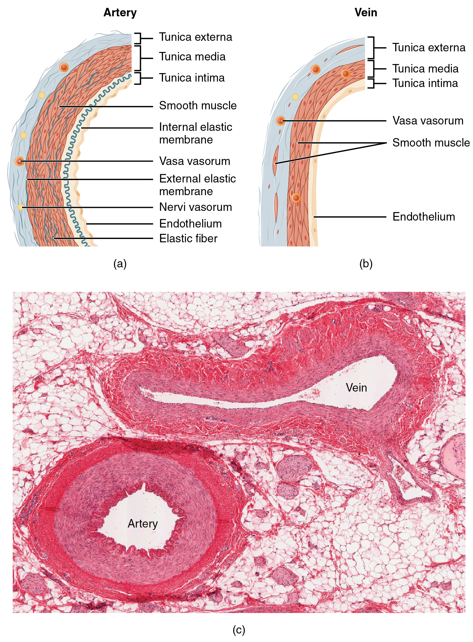Figure 20.3 Structure of Blood Vessels