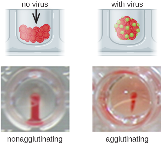 A photo of nonagglutination shows a red stripe. A diagram shows that without virus the cells from a compact pellet at the bottom of the well. A photo of agglutination shows a red spot and pink surrounding area. A diagram shows that the red blood cells and viruses form a clump.