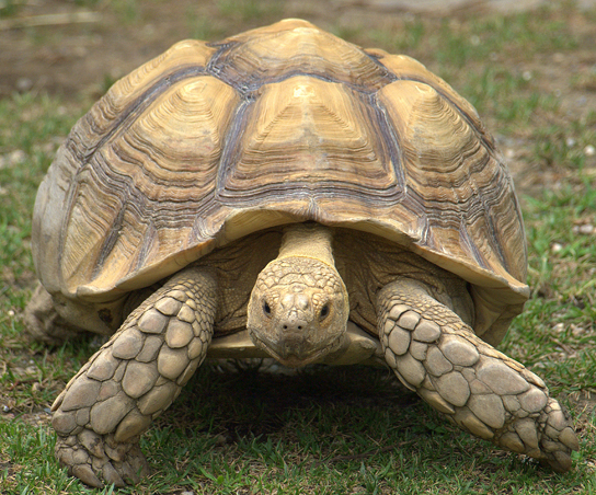 The photo shows a very large tortoise, that has a huge shell which encases its body.  Its legs, neck and head protrude from the shell.
