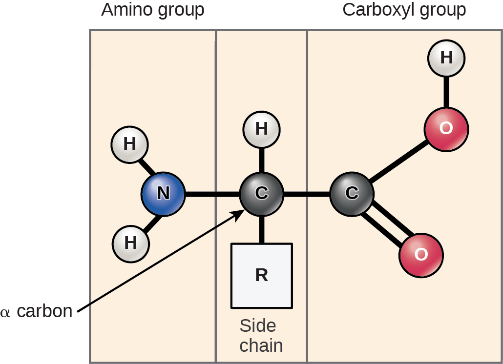 The molecular structure of an amino acid is given. An amino acid has an alpha carbon to which an amino group, a carboxyl group, a hydrogen, and a side chain are attached. The side chain varies for different amino acids, and is designated as the R - group.
