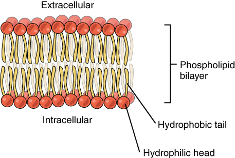 This diagram shows a phospholipid bilayer. Two sets of phospholipids are arranged such that the hydrophobic tails are facing each other and the hydrophilic heads are facing the extracellular environment.