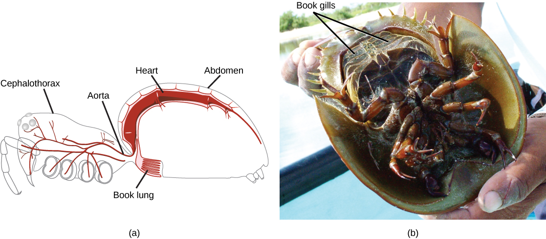 Part a is a diagram of a spider, showing an outline of the body, with the heart and lung inside. The book lung looks like a book with many pages and is located just anterior to a spiracle in the ventral abdomen. The heart is a long tube located in the dorsal portion of the abdomen. Part b is a photo of the underside of a horseshoe crab. The book gills are five pairs of plates near the tail.