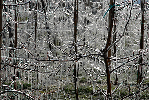 Photograph of streaks of ice hanging from branches of trees.