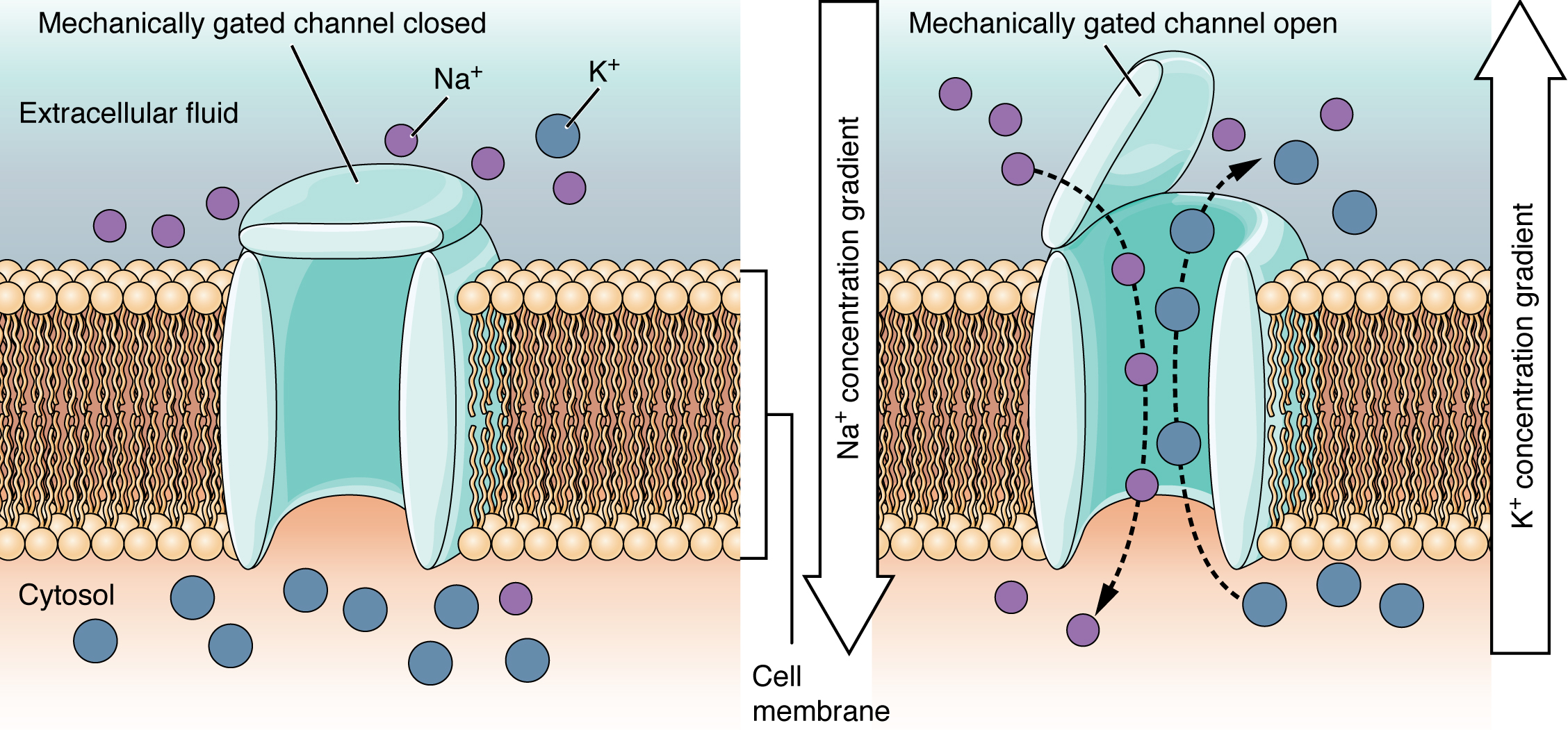 These two diagrams each show a channel protein embedded in the cell membrane. In the left diagram, there are a large number of sodium ions in the extracellular fluid, but only a few sodium ions in the cytosol. There is a large number of calcium ions in the cytosol but only a few calcium ions in the extracellular fluid. In this diagram, the channel is closed, as the extracellular side has a lid, somewhat resembling that on a trash can, that is closed over the channel opening. In the right diagram, the mechanically gated channel is open.  This allows the sodium ions to flow from the extracellular fluid into the cell, down their concentration gradient. At the same time, the calcium ions are moving from the cytosol into the extracellular fluid, down their concentration gradient.