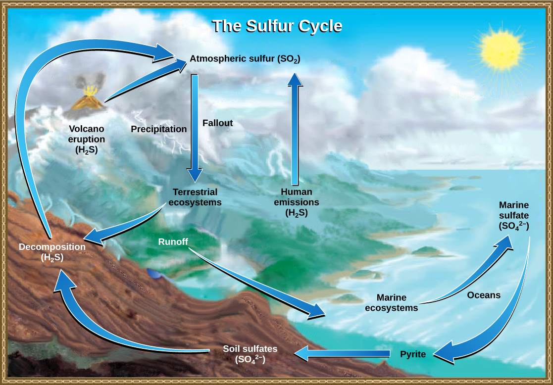 The illustration shows the sulfur cycle. Sulfur enters the atmosphere as sulfur dioxide (SO2) via human emissions, decomposition of H2S, and volcanic eruptions. Precipitation and fallout from the atmosphere return sulfur to the earth, where it enters terrestrial ecosystems. Sulfur enters the oceans via runoff, where it becomes incorporated in marine ecosystems. Some marine sulfur becomes pyrite, which is trapped in sediment. If uplifting occurs, the pyrite enters the soil and is converted to soil sulfates.