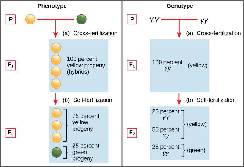 "A graphic with 2 columns, the first with the heading ""Phenotype"" and the second with the heading ""Genotype."" In the phenotype column, one yellow pea plant cross-fertilizes with one green pea plant. The first generation of offspring is 100 percent yellow pea plants. After self-fertilization of these yellow pea offspring, 75 percent of the second generation offspring have yellow peas and 25 percent have green peas. The genotype column shows the first generation offspring as 100 percent Yy, and the second generation as 25 percent YY, 50 percent Yy, and 25 percent yy."
