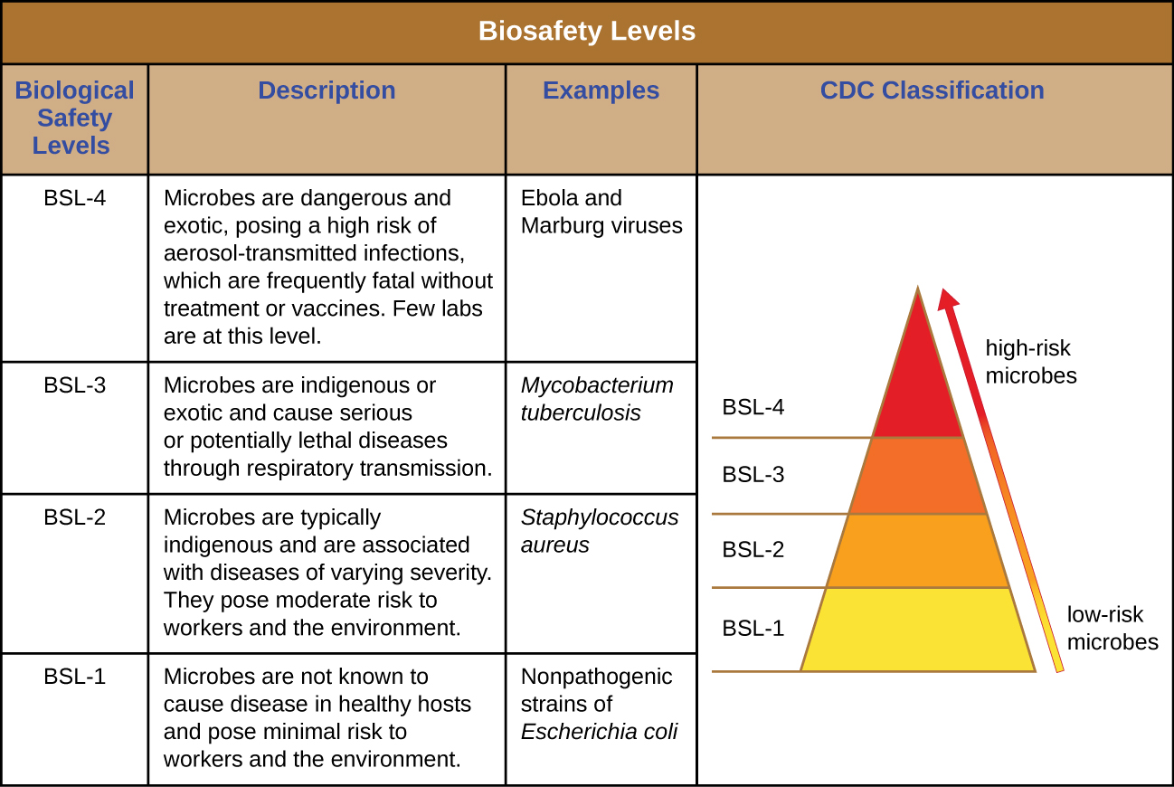 Table labeled biosafety levels. The CDC classifies low risk microbes as BSL-1 and high risk microbes as BSL-4. Biosafety level-4 is used when microbes are dangerous and exotic, posing a high risk of aerosol-transmitted infections, which are frequently fatal without treatment or vaccines. Few labs at this level. Examples include ebola and Marburg viruses.  BSL-3 is used when microbes are indigenous or exotic and cause serious or potentially lethal diseases through respiratory transmission. Examples include Mycobacterium tuberculosis. BSL-2 is used when microbes are typically indigenous and are associated with diseases of varying severity. They pose moderate risk to workers and the environment. Examples include Staphylococcus aureus. BSL-1 is used when microbes are not knows to cause disease in healthy hosts and pose minimal risk to workers and environment.  Examples include nonpathogenic strains of Escherichia coli.
