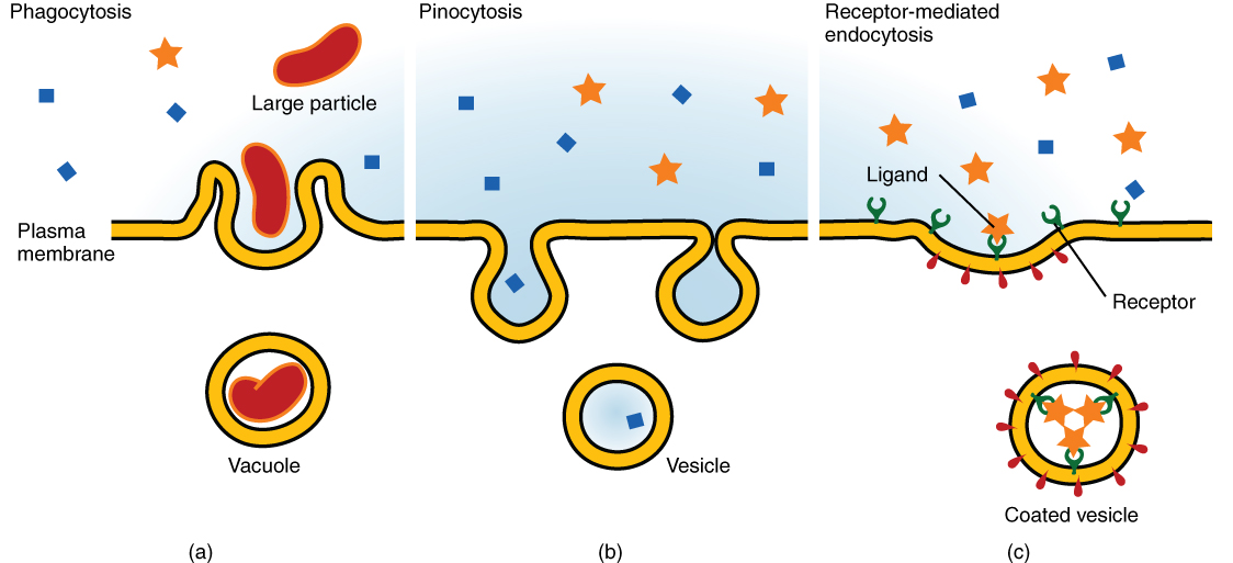 This image shows the three different types of endocytosis. The left panel shows phagocytosis, where a large particle is seen to be engulfed by the membrane into a vacuole. In the middle panel, pinocytosis is shown, where a small particle is engulfed into a vesicle. In the right panel, receptor-mediated endocytosis is shown; the ligand binds to the receptor and is then engulfed into a coated vesicle.