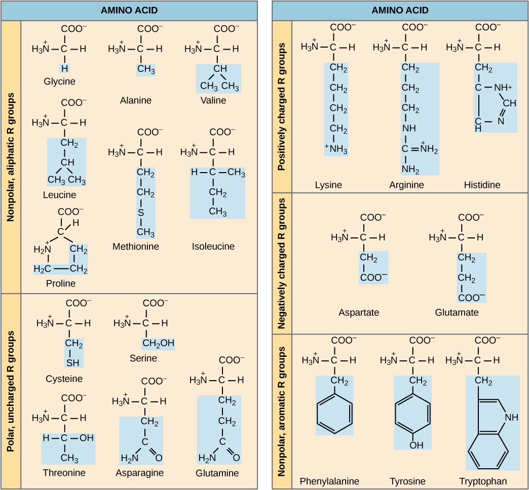 The molecular structures of the twenty amino acids commonly found in proteins are given. These are divided into five categories: nonpolar aliphatic, polar uncharged, positively charged, negatively charged, and aromatic. Nonpolar aliphatic amino acids include glycine, alanine, valine, leucine, methionine, isoleucine, and proline. Polar uncharged amino acids include serine, threonine, cysteine, asparagine, and glutamine. Positively charged amino acids include lysine, arginine, and histidine. Negatively charged amino acids include aspartate and glutamate. Aromatic amino acids include phenylalanine, tyrosine, and tryptophan.  For example, in the amino acid glycine, the R group is a single hydrogen; but in alanine the R group is upper C upper H subscript 3 baseline.