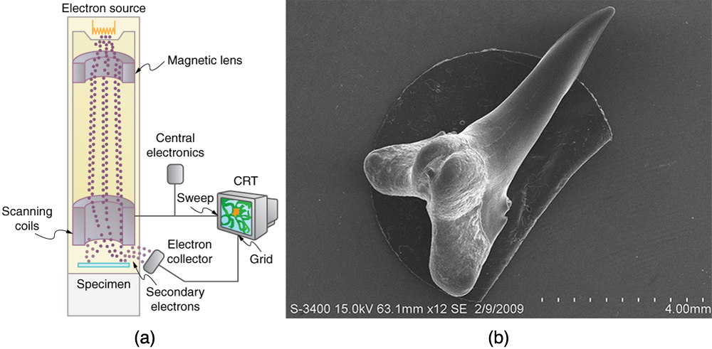 Figure a shows a schematic of an electron microscope. Figure b shows an image of a shark tooth.