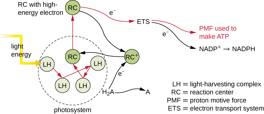 Light energy strikes LH (light-harvesting complex) in a photosystem. This energy is transferred to other LH & to RC (reaction center). This energy excites an electron in the RC, this electron then passes through an ETS (electron transport system) and the PMF (proton motive force) is used to MAKE ATP. The ETC aslo produces NADP which is converted to NADPH. The electron in the RC is replaced from H2A which is then converted to A.
