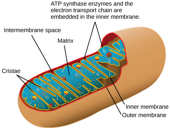 This illustration shows the structure of a mitochondrion, which has an outer membrane and an inner membrane. The inner membrane has many folds, called cristae. The space between the outer membrane and the inner membrane is called the intermembrane space, and the central space of the mitochondrion is called the matrix. A T P synthase enzymes and the electron transport chain are located in the inner membrane.