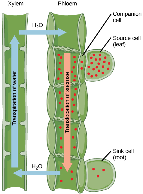 Illustration shows the transpiration of water up the tubes of the xylem from a root sink cell. At the same time, sucrose is translocated down the phloem to the root sink cell from a leaf source cell. The sucrose concentration is high in the  source cell, and gradually decreases from the source to the root.