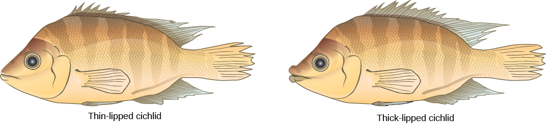 The illustrations show two species of cichlid fish which are similar in appearance except that one has thin lips, and one has thick lips.