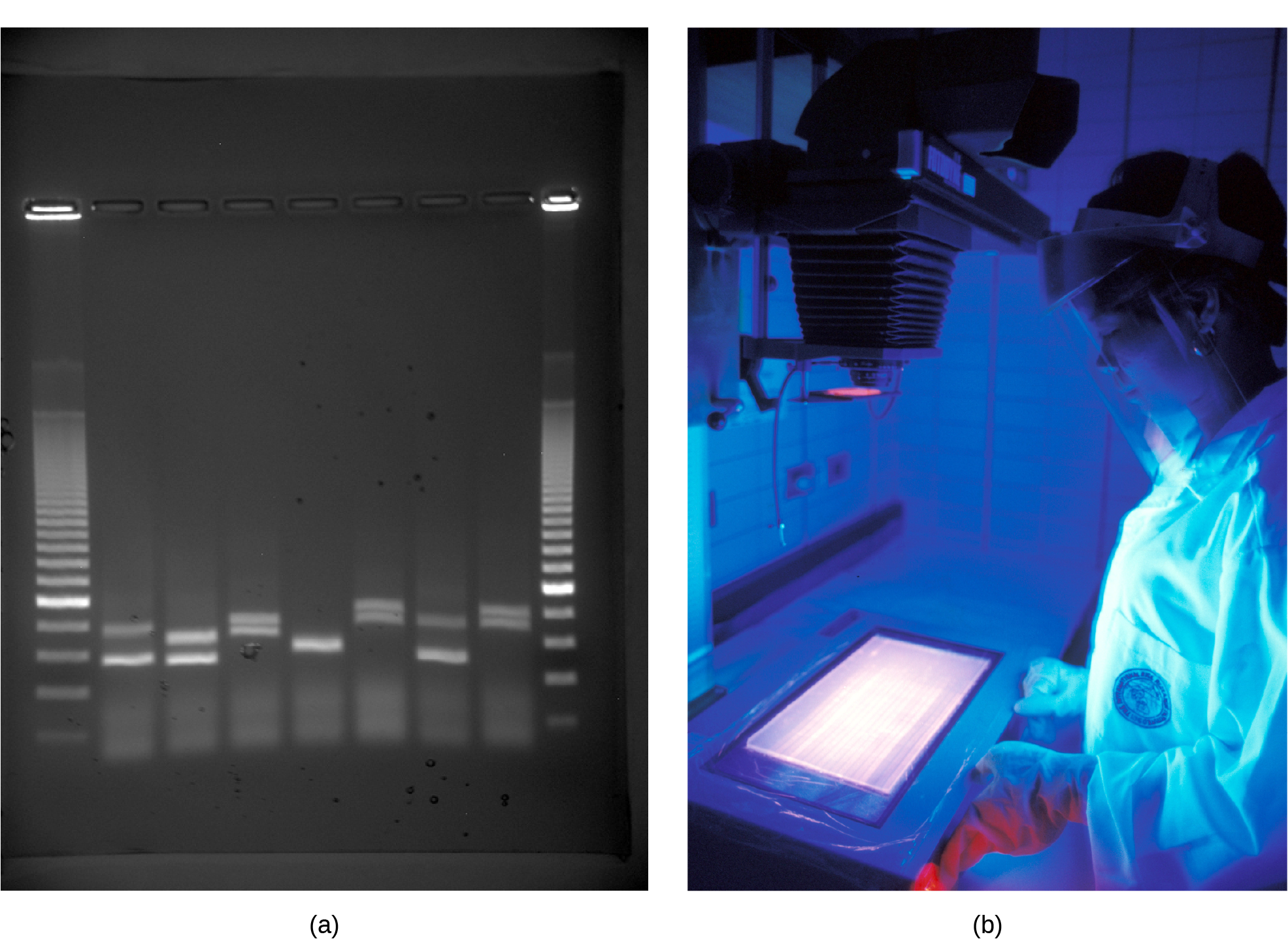 Photo shows an agarose gel illuminated under U V light. The gel contains nine lanes from left to right. Each lane was loaded with a sample containing D N A fragments of differing size that separated as they travelled through the gel from top to bottom. The D N A appears as thin, white bands on a black background. Lanes one and nine contain many bands from a D N A standard. These bands are closely spaced toward the top, and spaced farther apart further down the gel. Lanes two through eight contain one or two bands each. Some of these bands are identical in size and run the same distance into the gel. Others run a slightly different distance, indicating a small difference in size. Image b shows a researcher working at a machine where she is observing D N A under ultraviolet light.